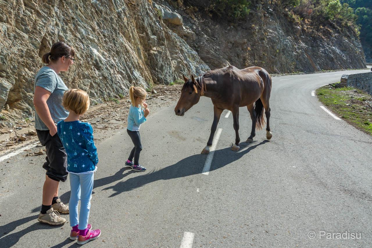 Tiere Auf Korsikas Strassen