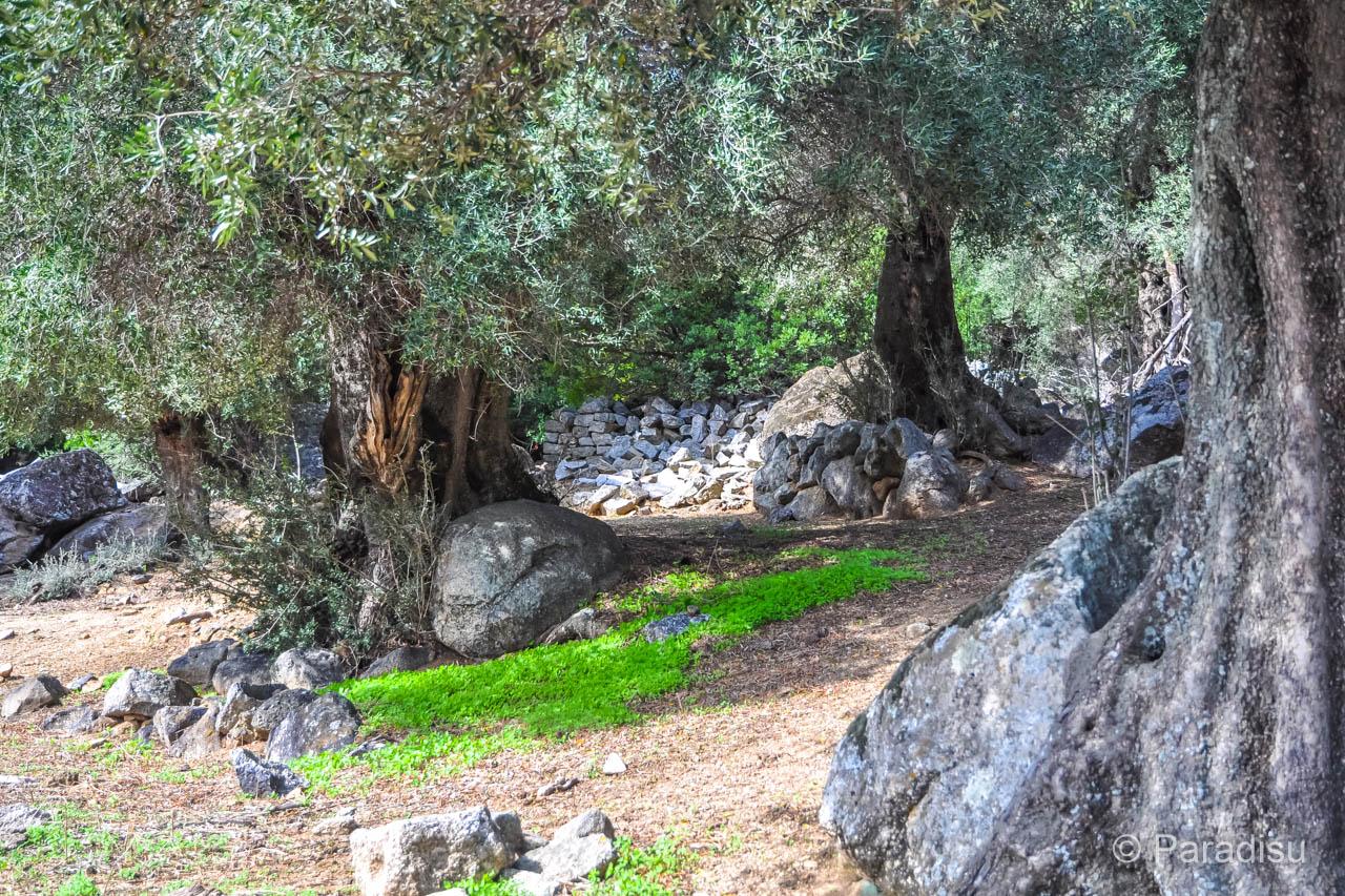 Balagne Olivenbäume