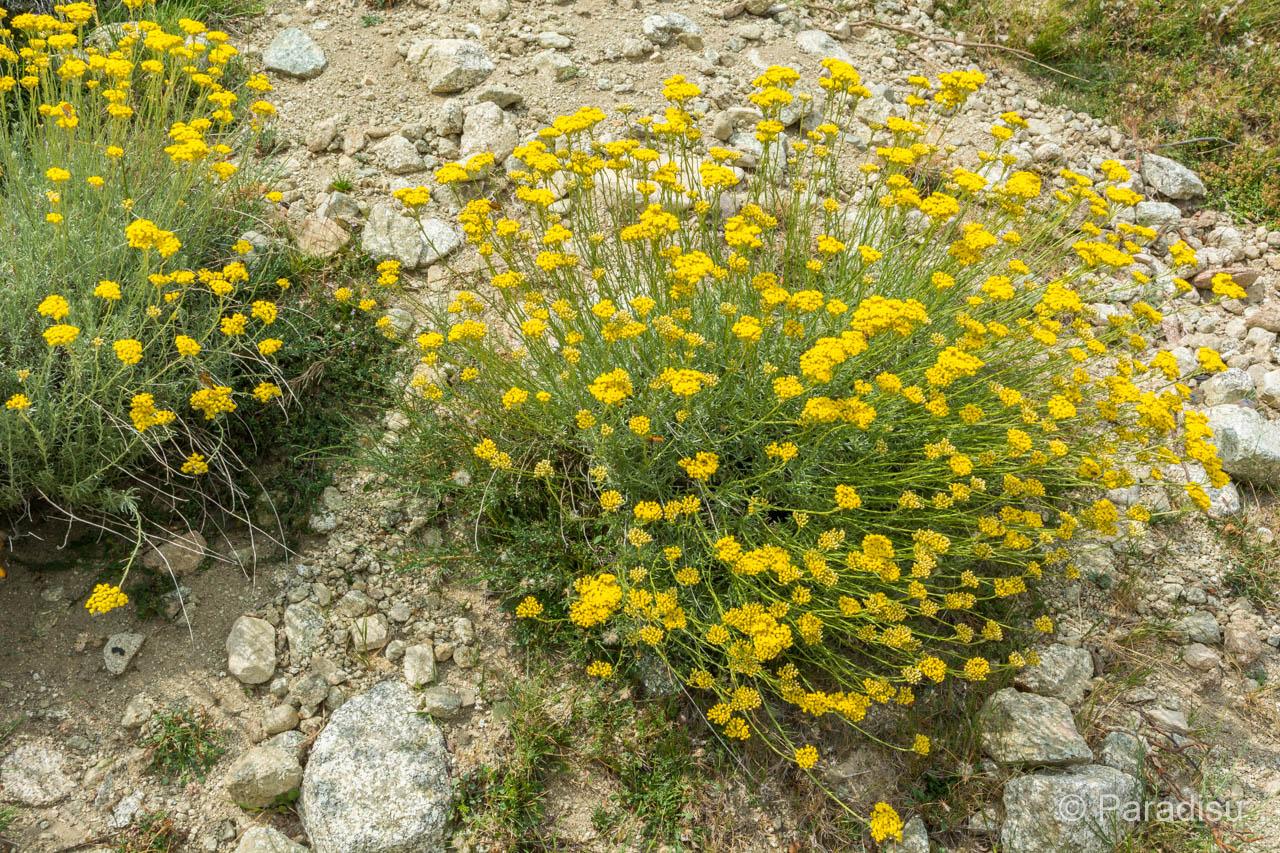 Immortelle, Der Duft Korsikas