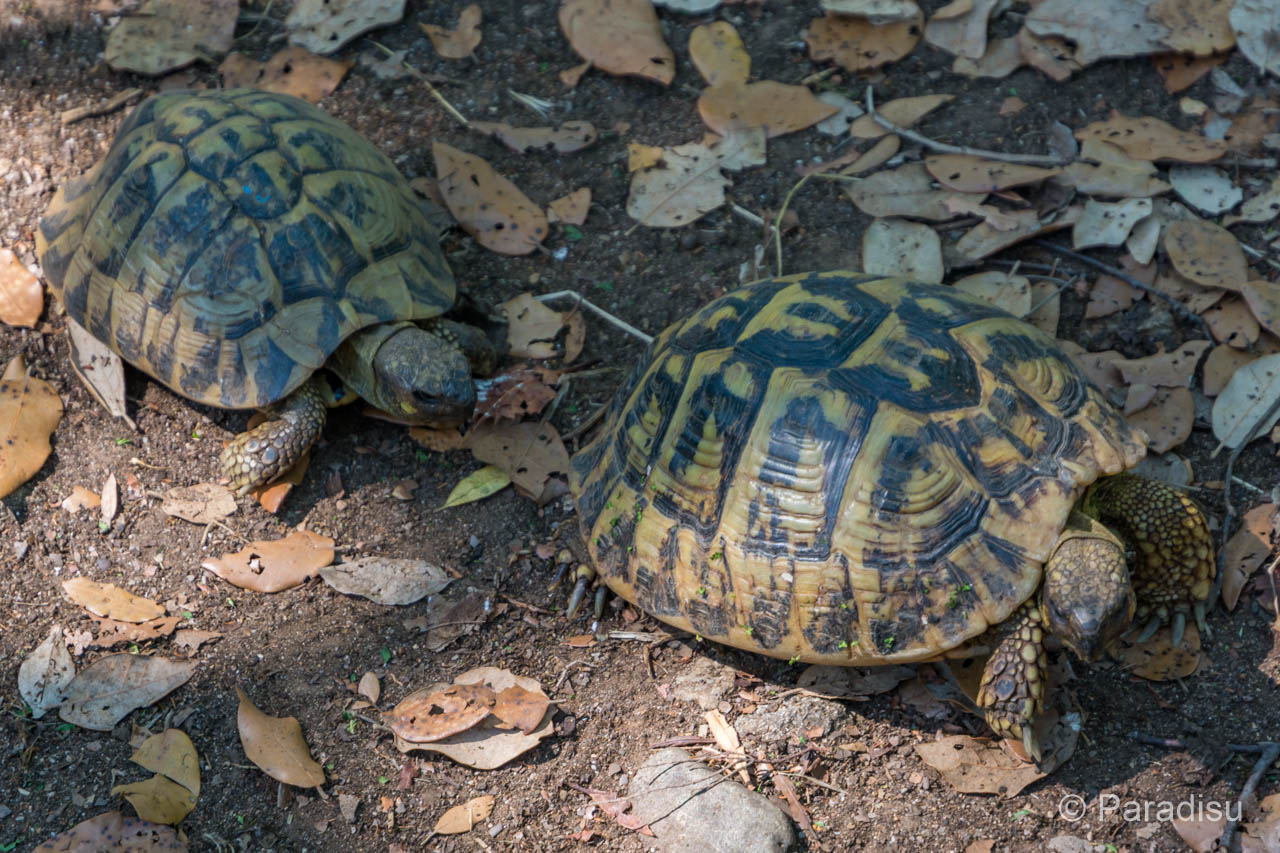Griechische Landschildkröte - Tortue D'Hermann