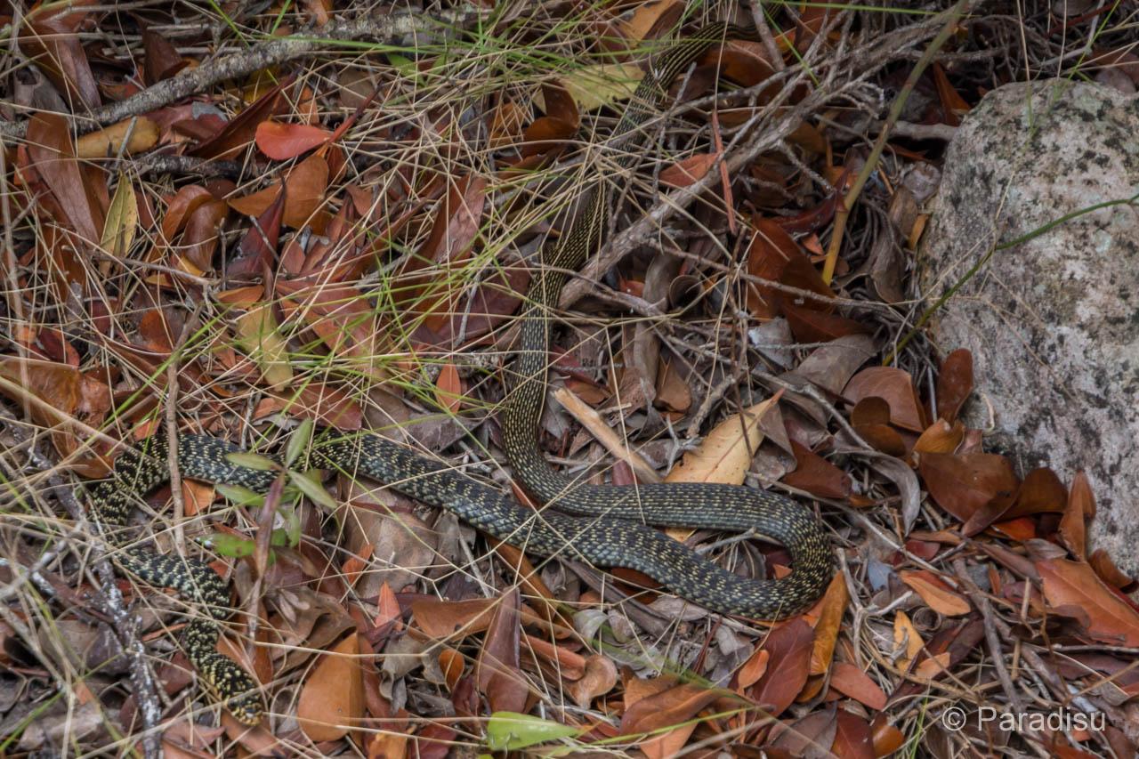 Korsika Schlange - Serpent